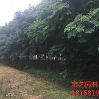 江蘇常年供應規格5公分~15公分苦楝樹 苦楝樹價格