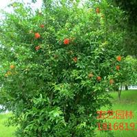 江苏常年供应规格2公分~10公分石榴树 石榴树价格
