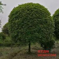 江苏常年供应规格4公分~15公分桂花树