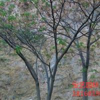 江蘇常年供應規格8公分~15公分合歡樹 合歡樹價格