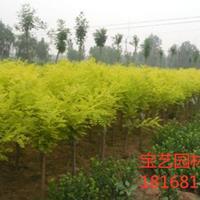 江苏常年供应4公分~12公分黄金槐