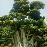 福建榕樹價格 1-50公分榕樹
