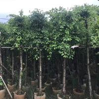 福建榕樹價格360元一株12公分