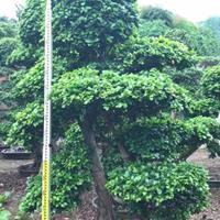 福建榕樹生長習性