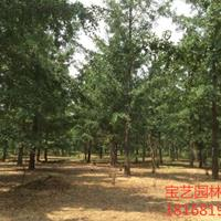 江苏常年供应规格5公分~20公分银杏树 银杏树价格
