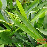 江蘇常年供應規格30公分~1.2米箬竹