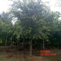 江蘇常年供應規格15公分~30公分樸樹