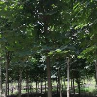 七葉樹產地 白花七葉樹 紅花七葉樹
