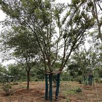 樸樹產地 樸樹圖片 樸樹白櫸樹價格表