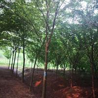 櫸樹直銷 紅櫸樹價格 紅櫸樹圖片 櫸樹產地