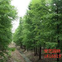 江苏常年供应4公分~12公分中山杉