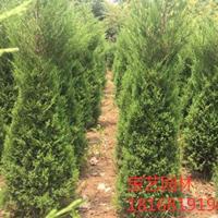 江蘇常年供應規格60公分~3米檜柏