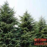江苏常年供应规格2米~6米雪松