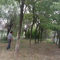 供應重陽木 重陽木圖片 重陽木價格