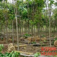 江苏常年供应规格6公分~15公分七叶树 七叶树价格