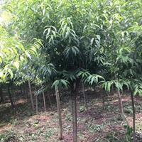 桃树产 毛桃树图片 毛桃树价格