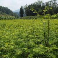 基地直销各种规格的水杉苗,柳杉苗,山桐子及栾树苗。