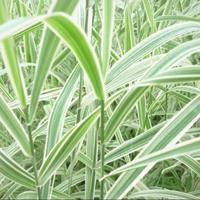 玉带草产地 苦草图片 玉带草价格