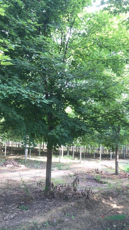 供应15cm美国红枫