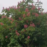 欧洲七叶树  花榈木  观光木