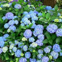 供應八仙花 八仙花圖片 八仙花價格 八仙花產地