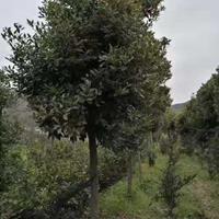 普陀樟 凹叶厚朴 长柄紫果槭