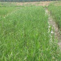 芦苇产地 水生芦苇图片 芦苇价格