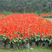 供应一串红 一串红图片 一串红价格 一串红产地