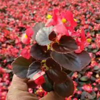 供应四季海棠 红叶四季海棠 图片 四季海棠价格