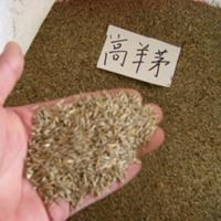 供應高羊茅種子 高羊茅種子圖片 高羊茅種子價格