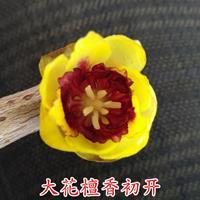 鄢陵蜡梅基地种植品种檀香腊梅浓香红心观赏盆景庭院阳台地栽腊梅