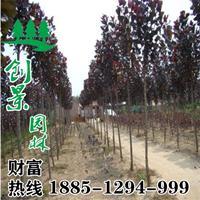红叶杨多少钱一颗? 常年供应优质红叶杨 2-8公分 规格齐全