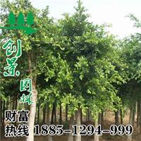 沭阳重阳木批发 优质重阳木 1公分-18公分 规格齐全