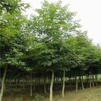 沭阳常年优质枫香、规格齐全。批发低价 苗圃直销