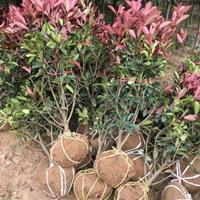 红叶石楠球基地  低价直销  产地货源