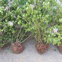 丛生丁香价格,丛生丁香种植基地,丛生丁香批发就到创景苗木场