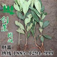 沭阳常年优质枇杷树 基地销售 2公分-10公分规格齐全