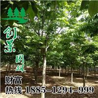 【七叶树】沭七叶树价格,七叶树苗木基地,七叶树栽培种植管理
