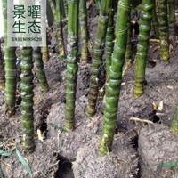 江苏景曜生态苗木基地供应佛肚竹、罗汉竹图片/产地直销批发价格
