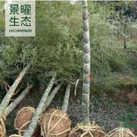 龟甲竹产地在哪里/哪里便宜/江苏景曜生态基地直销批发价格图片