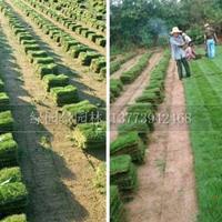 江蘇馬尼拉/圖片/價格便宜/哪里馬尼拉草坪市場需求多規格齊全