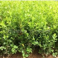 哪家绿篱色块大叶黄杨、瓜子黄杨、金边黄杨、红叶小波小苗便宜