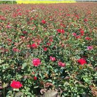 江蘇月季種植基地高20—60公分地被月季價格介紹