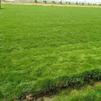 高羊茅/黑麥草、高羊茅、早熟禾、剪股穎、中華結縷草、馬尼拉