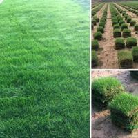 大量黑麥草、高羊茅、早熟禾、剪股穎、四季青、百慕大市場價格