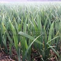 江蘇供應水生植物H20、30公分水生鳶尾價格/H20、30公分水生鳶尾哪里好/水生鳶尾哪家便宜