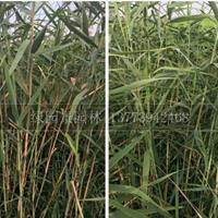 供应H100、200公分芦苇价格行情报价/供应H100、200公分芦苇价格图片展示