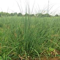 蒲葦的產地在哪里/沭陽綠園景園林苗木基地直銷/批發價格/圖片