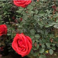 江苏苗圃高50-90公分品种月季价格/月季价格