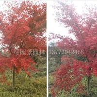 日本红枫基地/地径2-10公分日本红枫树苗价格/红枫价格